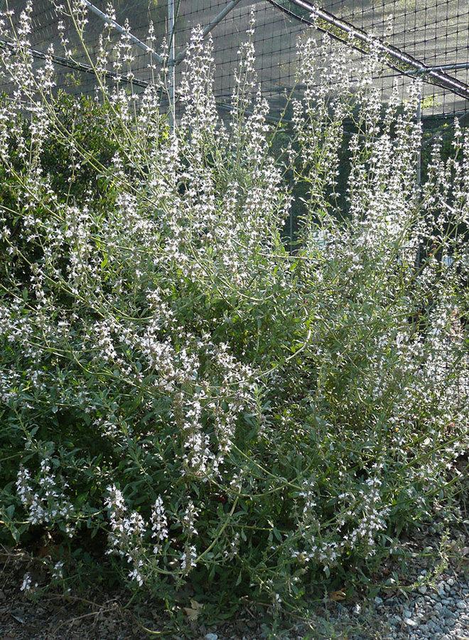 Salvia 'Starlight' - Starlight Sage (Plant)