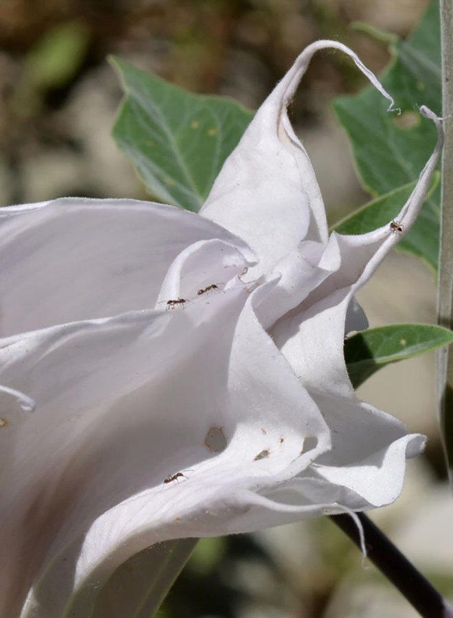 Datura wrightii - Sacred Datura, Jimsonweed (Plant)