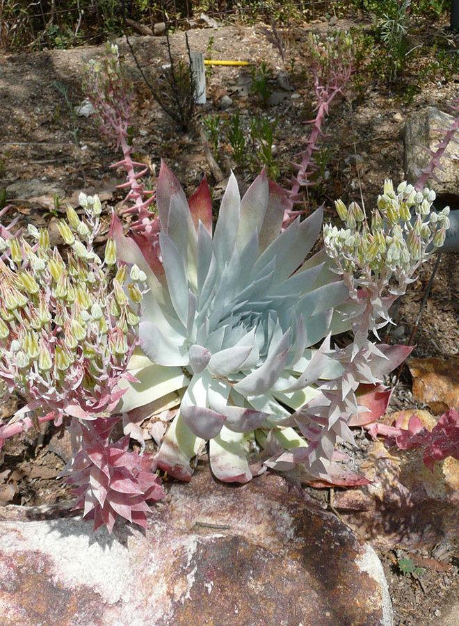 Dudleya brittonii - Britton's Dudleya (Plant)
