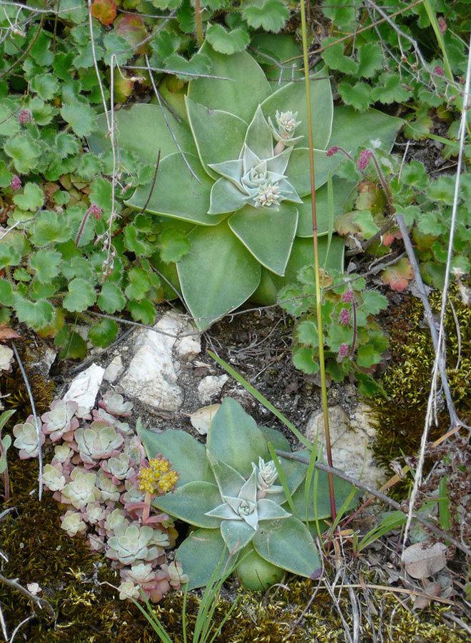 Dudleya cymosa - Canyon Live-Forever, Rock Lettuce (Plant)