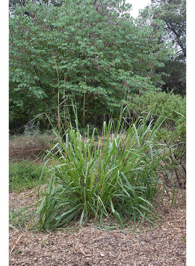 Elymus condensatus - Giant Wild Rye (Plant)