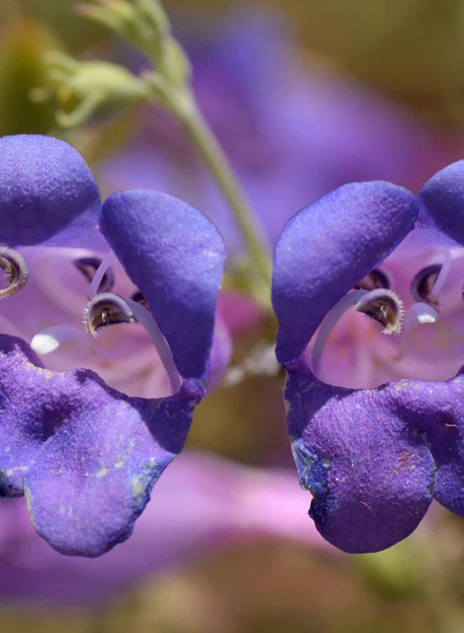 Penstemon heterophyllus var. heterophyllus - Foothill Penstemon (Plant)