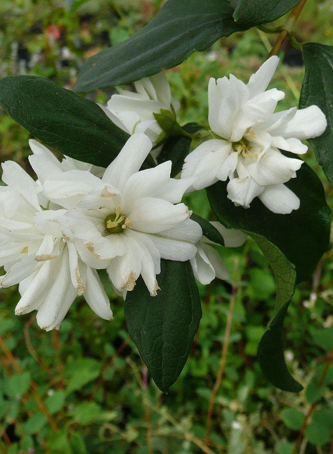 Philadelphus lewisii 'Goose Creek' - Goose Creek Mock Orange (Plant)