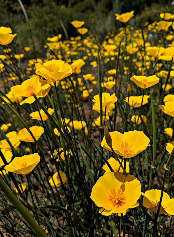 Local - Eschscholzia caespitosa - Foothill Poppy (Seed)