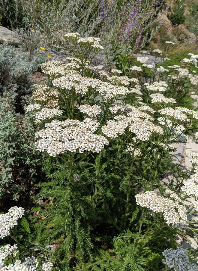 Achillea millefolium - Yarrow (Plant)