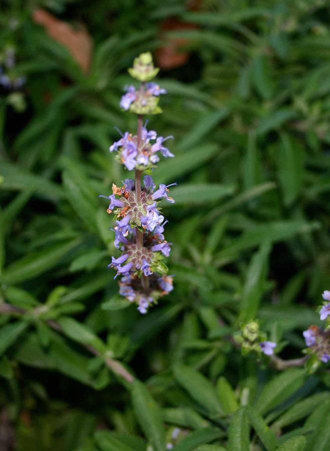 Salvia 'Green Carpet' - Green Carpet Sage (Plant)