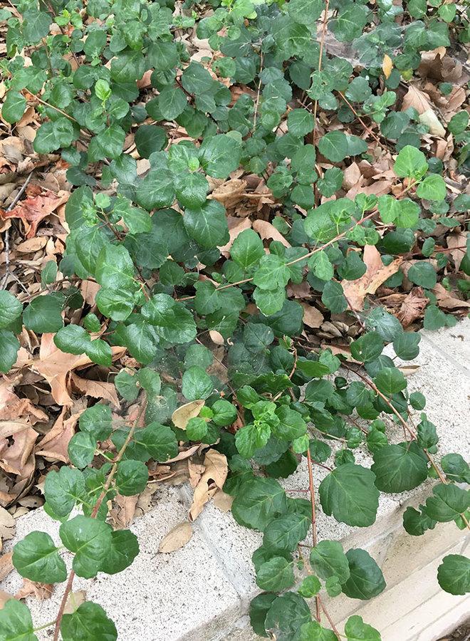 Ribes viburnifolium 'Spooner's Mesa' - Spooner's Mesa Evergreen Currant (Plant)