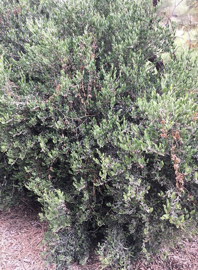 Simmondsia chinensis - Jojoba, Goatnut (Plant)