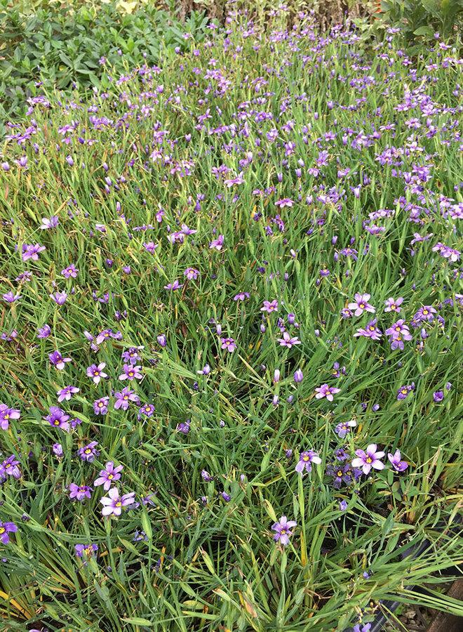 Sisyrinchium bellum 'Dwarf' - Dwarf Blue Eyed Grass (Plant)
