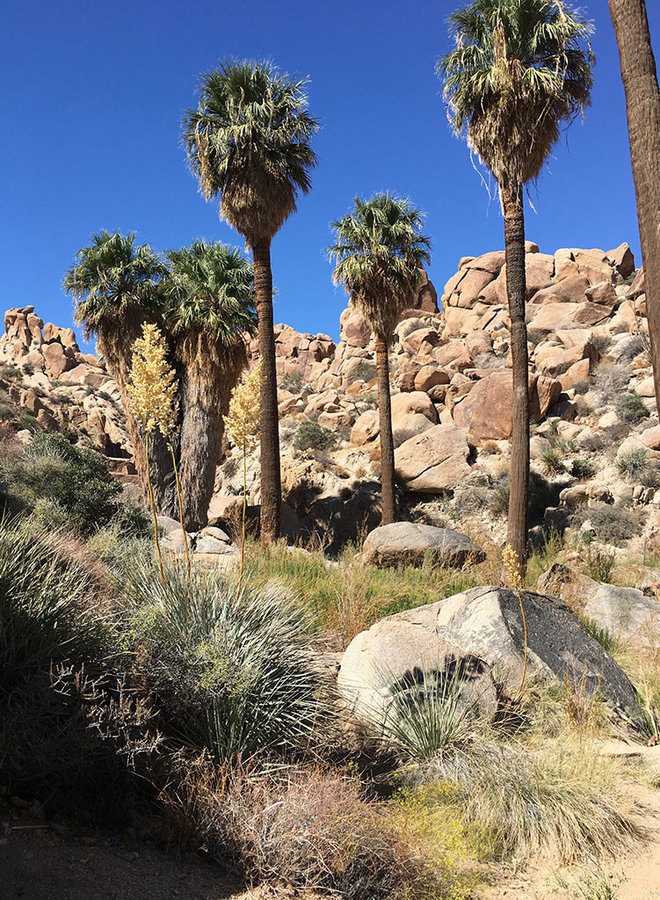 Washingtonia filifera - California Fan Palm (Plant)