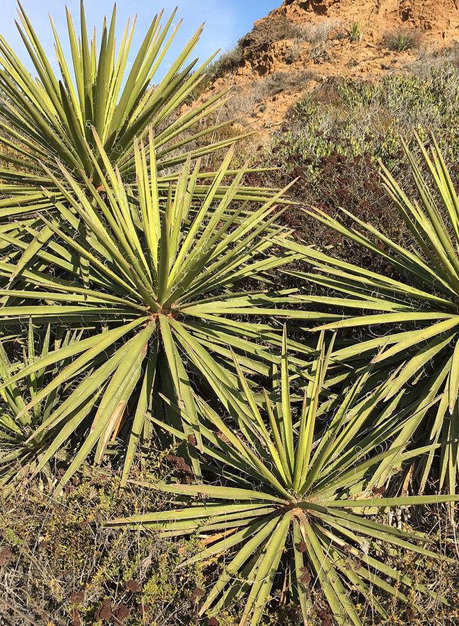 Yucca schidigera - Mojave Yucca (Plant)