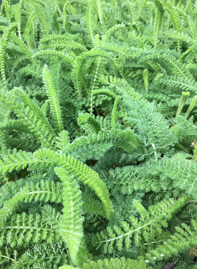 Achillea millefolium 'Sonoma Coast' - Sonoma Coast Yarrow (Plant)