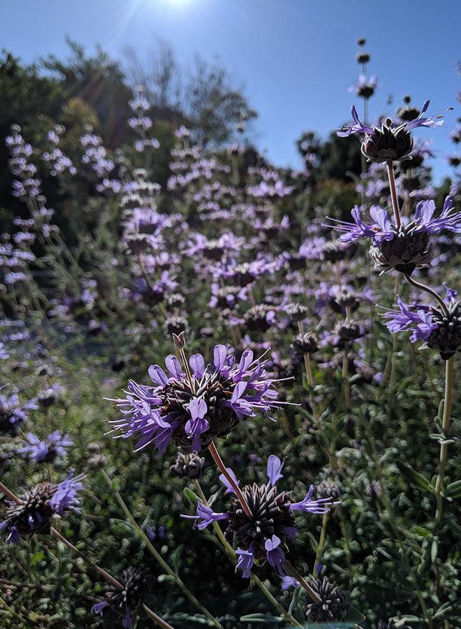 Salvia clevelandii - Cleveland Sage (Plant)
