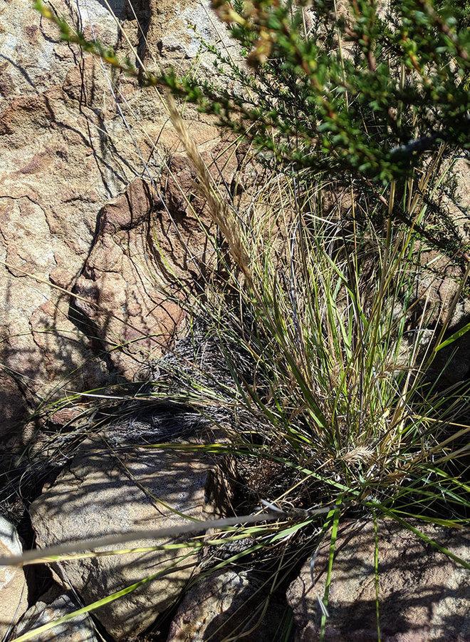 Stipa coronata - Giant Needlegrass, Crested Needlegrass (Plant)