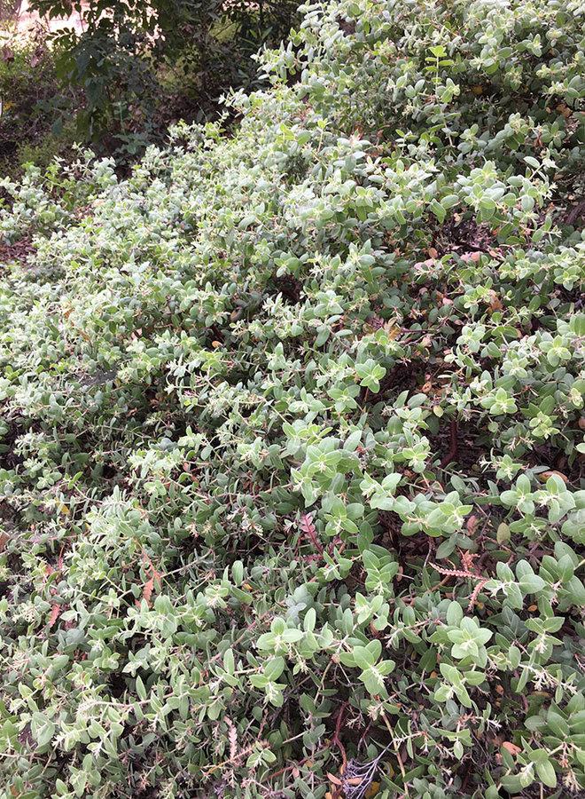 Arctostaphylos cruzensis - Arroyo de la Cruz Manzanita (Plant)