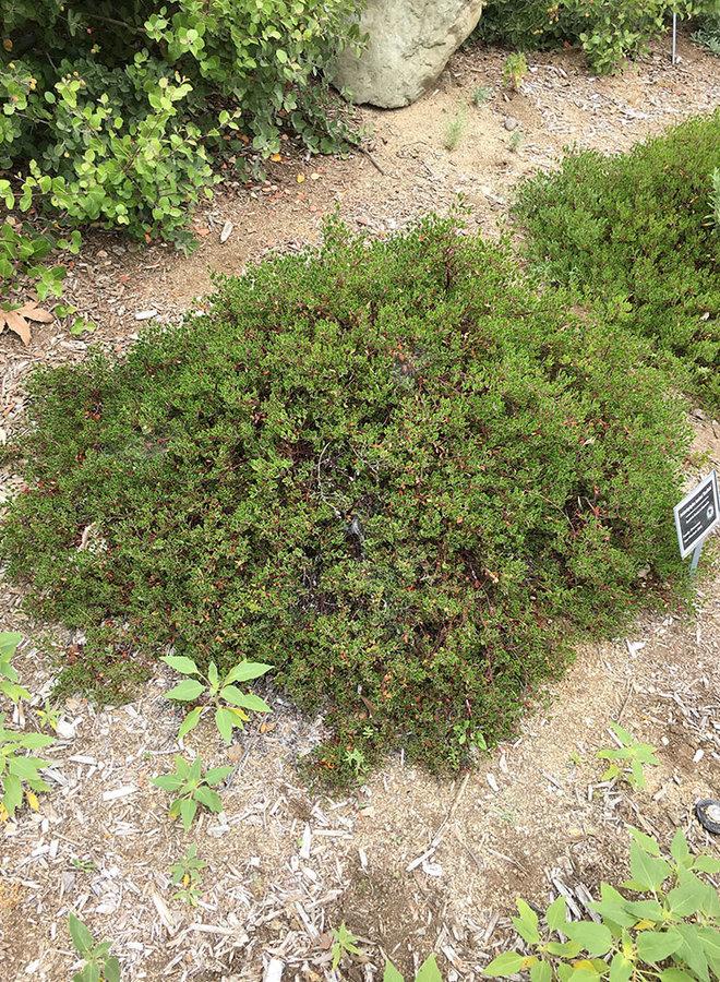 Arctostaphylos hookeri 'Buxifolia' - Buxifolia Hooker's Manzanita (Plant)