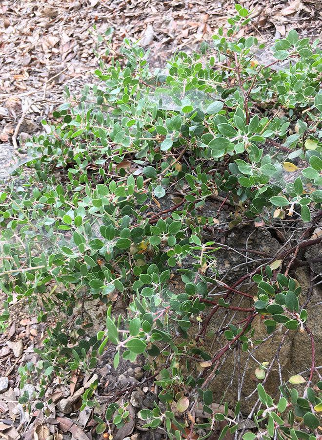 Arctostaphylos hookeri 'Monterey Carpet' - Monterey Carpet Hooker's Manzanita (Plant)