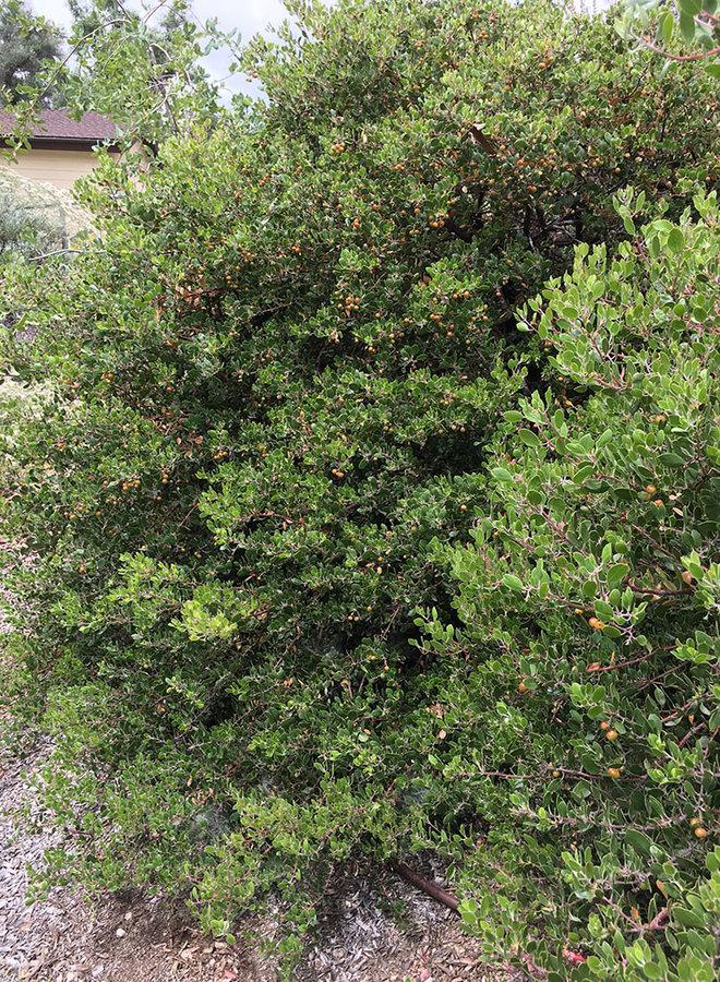 Arctostaphylos rudis 'Vandenberg' - Vandenberg Sand Mesa Manzanita (Plant)