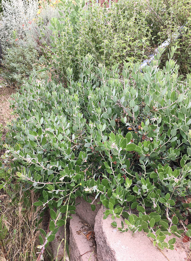 Arctostaphylos tomentosa--creeping form - Creeping Form Woolly-Leaf Manzanita (Plant)