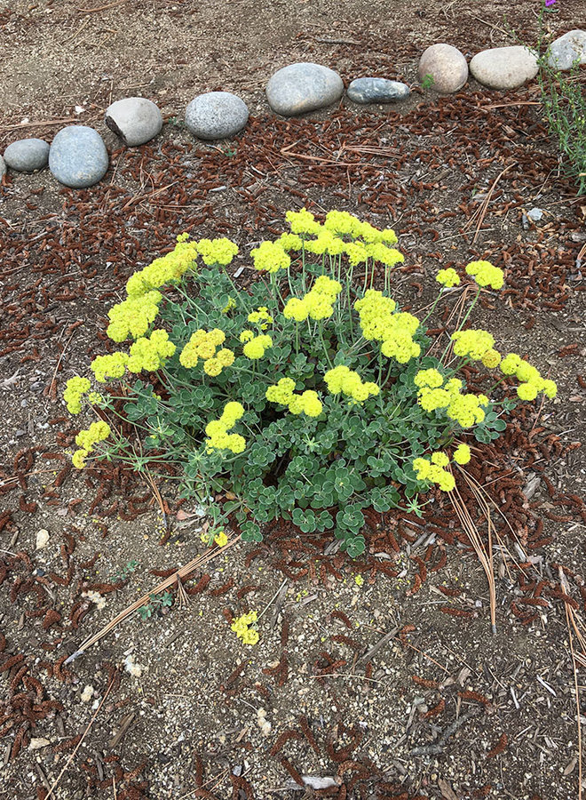 Eriogonum umbellatum 'Shasta Sulfur' - Shasta Sulfur Buckwheat (Plant)