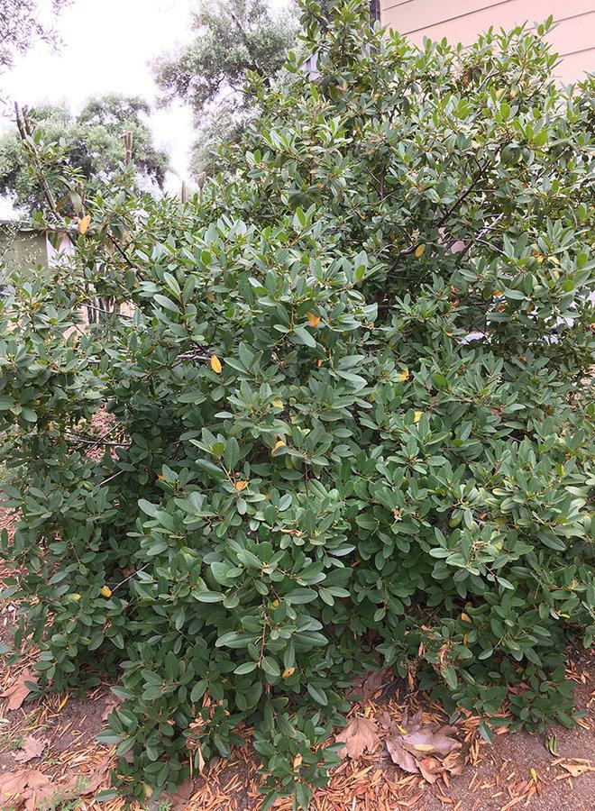 Frangula californica 'Eve Case' - Eve Case California Coffeeberry (Plant)