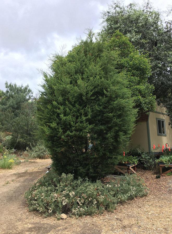 Hesperocyparis forbesii - Tecate Cypress (Plant)