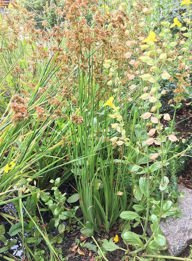 Juncus xiphioides - Iris Leaved Rush (Plant)