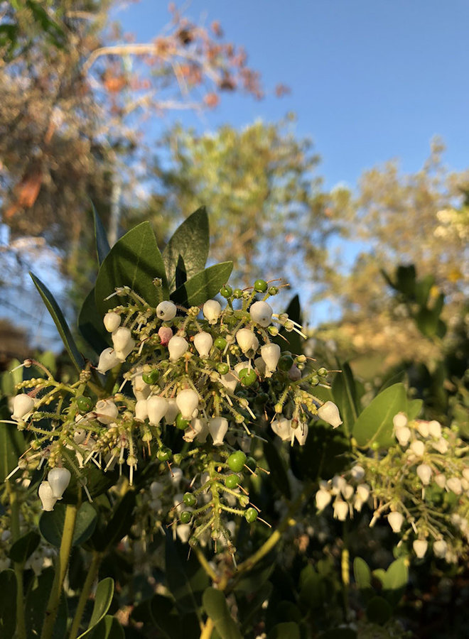 Arctostaphylos insularis 'Ward' - Ward Santa Cruz Island Manzanita (Plant)