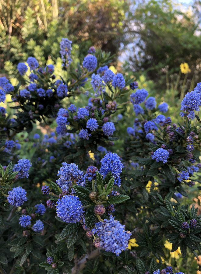 Ceanothus 'Far Horizons' - Far Horizons CA Lilac (Plant)