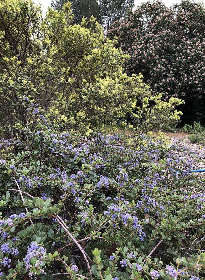 Ceanothus gloriosus 'Anchor Bay' - Anchor Bay Glory Mat, Anchor Bay Point Reyes Ceanothus (Plant)