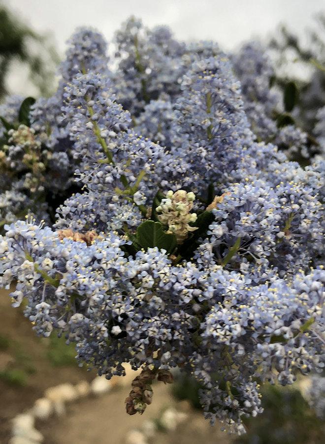 Ceanothus 'Siempre Blue' - Siempre Blue Ceanothus (Plant)