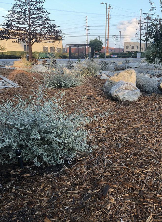 Condea emoryi - Desert Lavender (Plant)