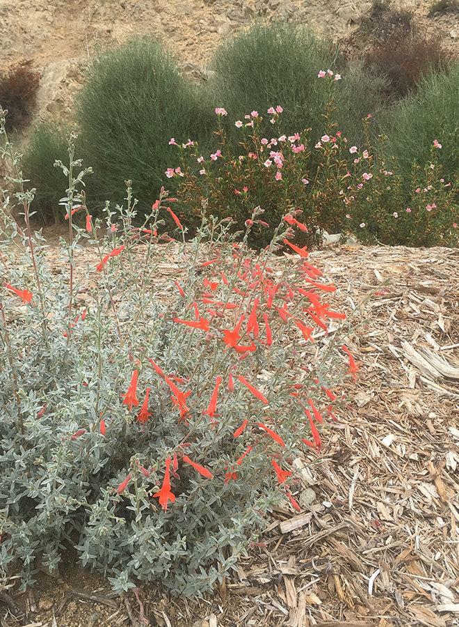 Epilobium 'Bert's Bluff' - Bert's Bluff California Fuchsia (Plant)