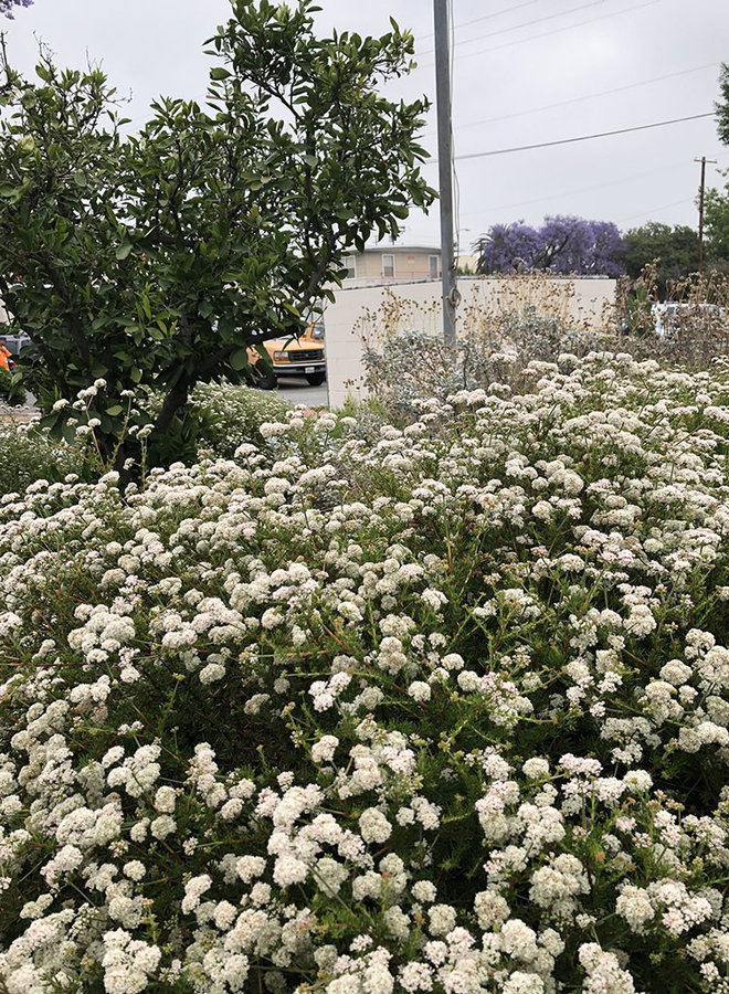 Eriogonum fasciculatum 'Dana Point' - Dana Point California Buckwheat (Plant)
