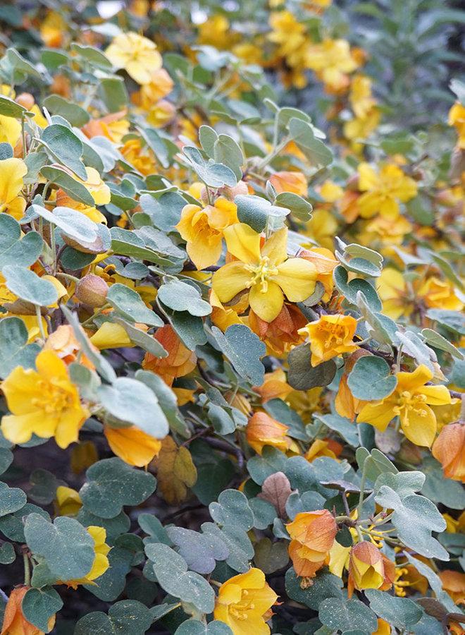 Fremontodendron 'Ken Taylor' - Ken Taylor Flannel Bush (Plant)
