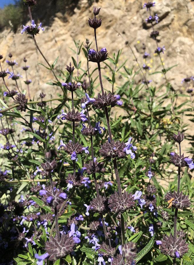 Salvia brandegeei - Brandegee's Sage, Santa Rosa Island Sage (Plant)