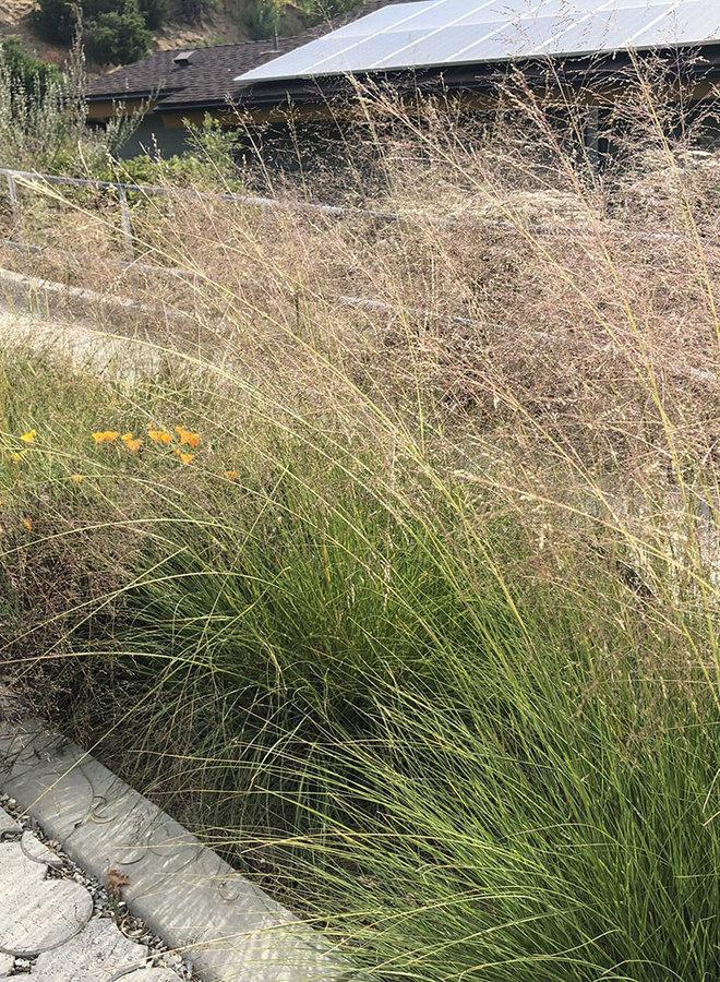 Sporobolus airoides - Alkali Dropseed, Alkali Sacaton (Plant)