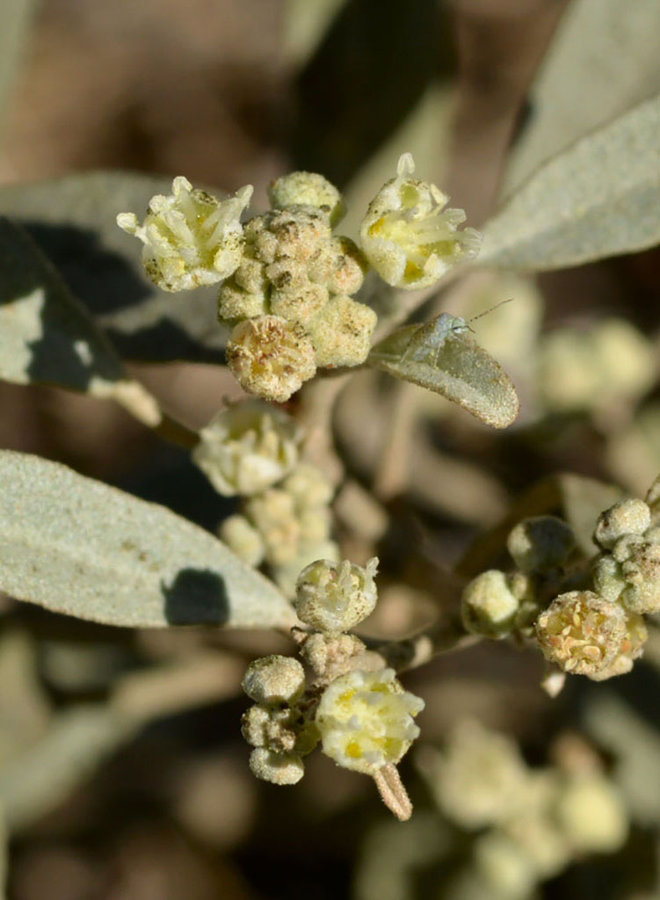 Croton californicus - Croton (Plant)