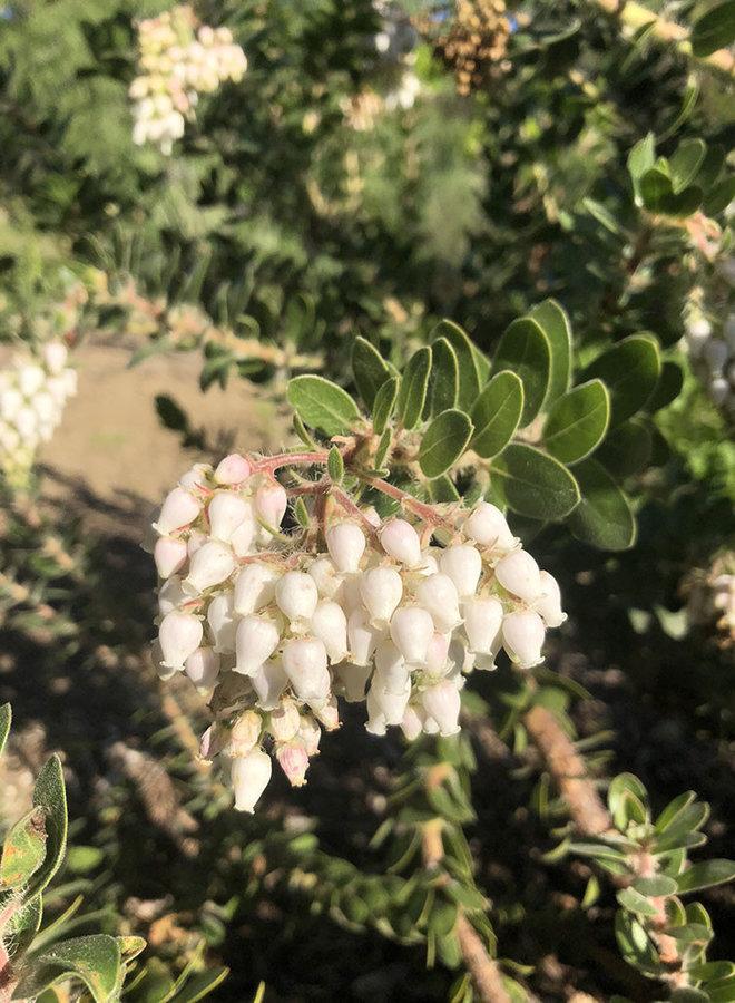 Arctostaphylos viridissima 'White Cloud' - White Cloud Santa Cruz Manzanita (Plant)
