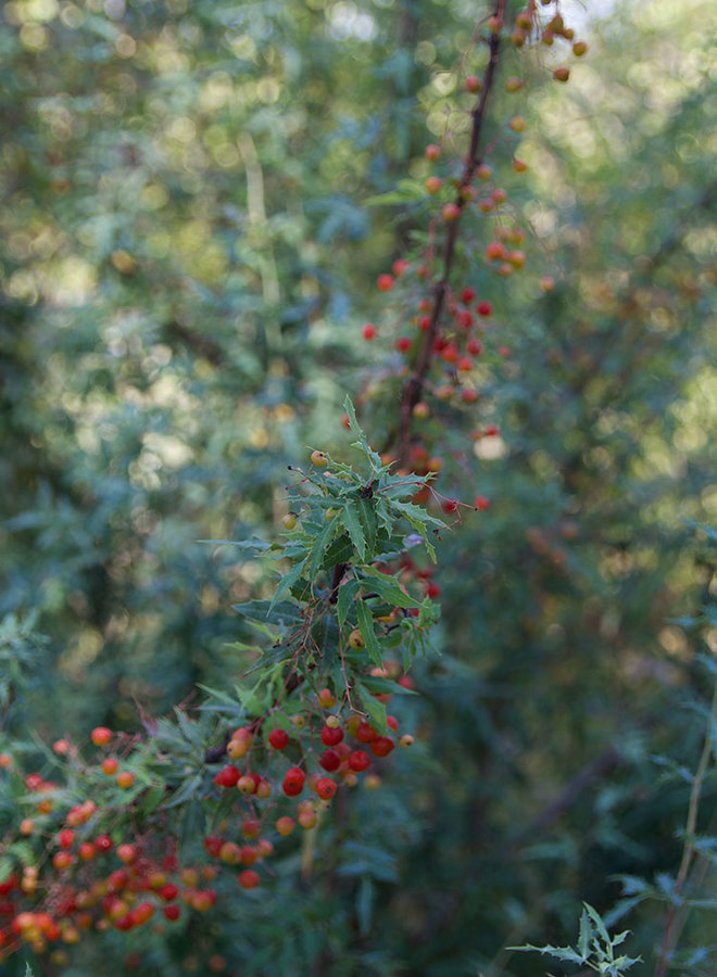 Berberis haematocarpa - Red Barberry, Desert Barberry (Plant)