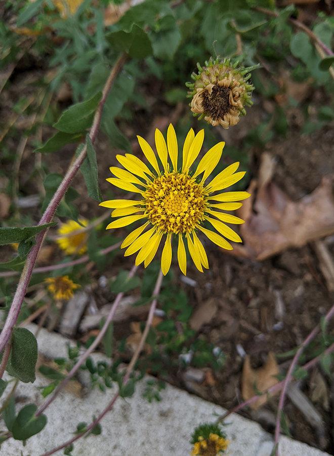 Grindelia hirsutula - Hairy Gumplant (Plant)