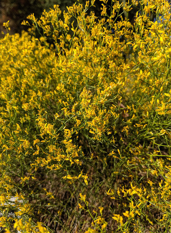 Gutierrezia californica - Matchweed (Plant)