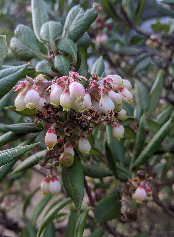 Xylococcus bicolor - Mission Manzanita (Plant)