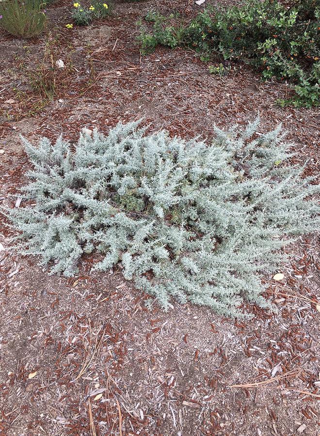 Artemisia californica 'Montara' - Montara Sagebrush (Plant)
