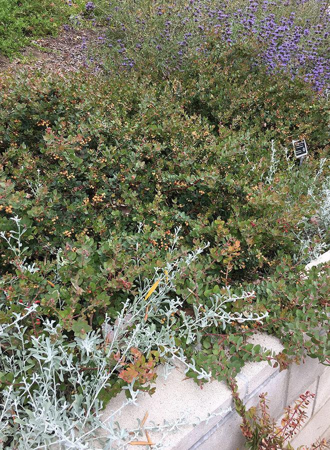 Arctostaphylos 'John Dourley' - John Dourley Manzanita (Plant)