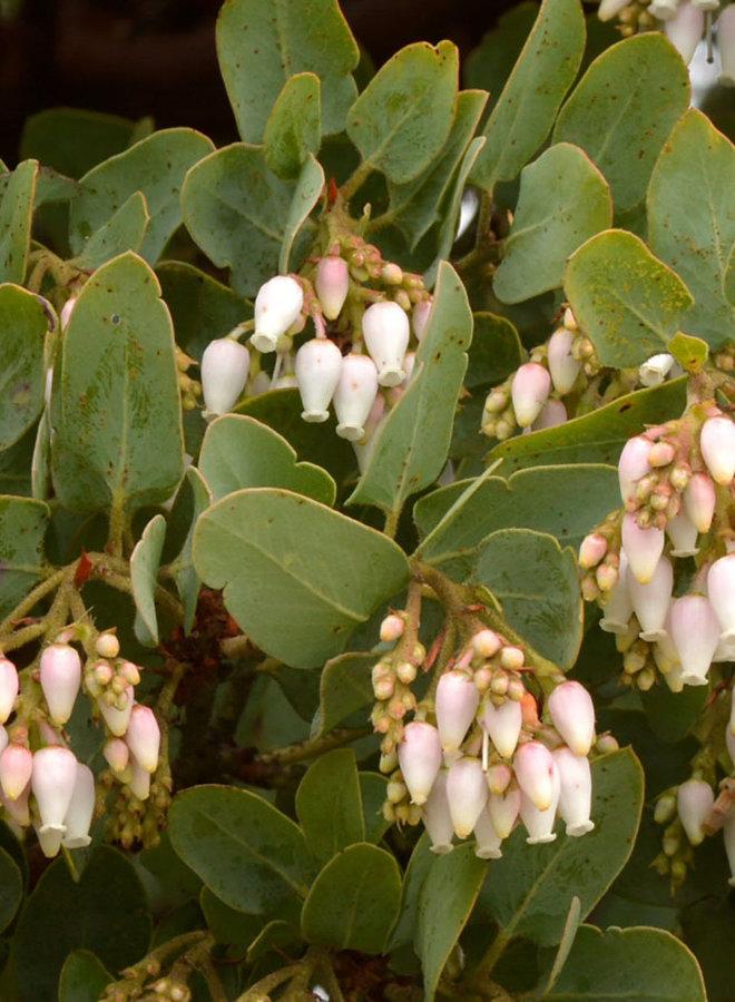 Arctostaphylos glauca - Blue Manzanita, Bigberry Manzanita (Plant)