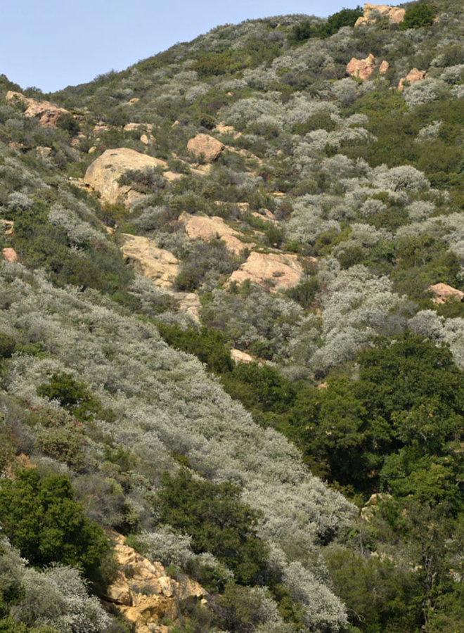 Ceanothus megacarpus var. megacarpus - Big-Pod Ceanothus (Plant)