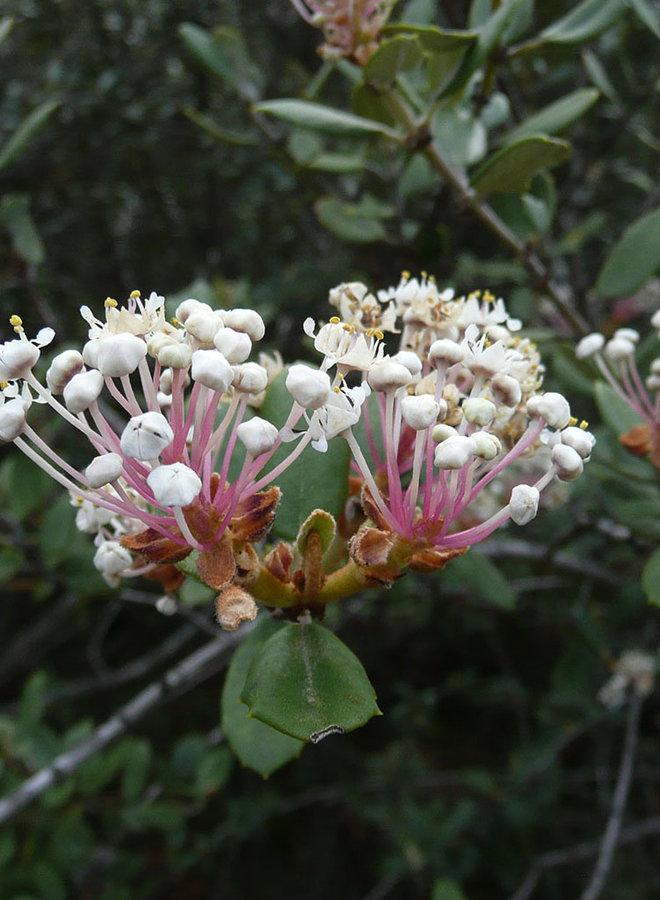 Ceanothus crassifolius var. crassifolius - Hoaryleaf Ceanothus (Plant)