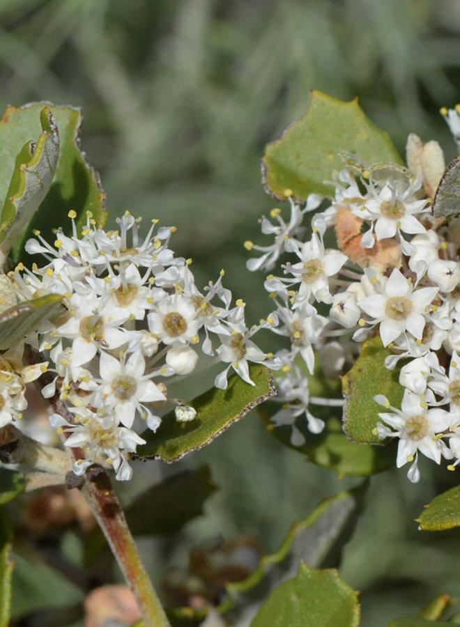 Ceanothus crassifolius var. crassifolius