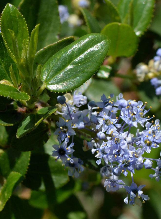 Ceanothus oliganthus var. oliganthus - Hairy Ceanothus (Plant)